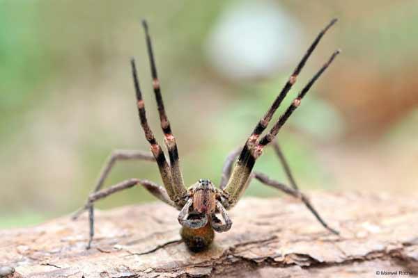 Picada de aranha provoca ereção